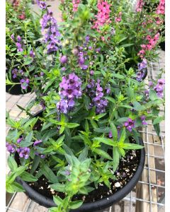 10in Angelonia Serena Blue
