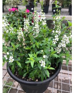 10in Angelonia Serena White