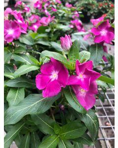 10in Vinca Rosea Cora Orchid
