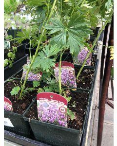 Aconitum x 'Bicolor' 1GAL