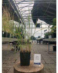 Calamagrostis Overdam 1G