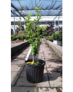 Rose of Sharon 'Woodbridge'