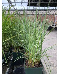 Calamagrostis 'Avalanche' 1gal