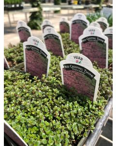 Thymus Cocc Red Creeping 4""