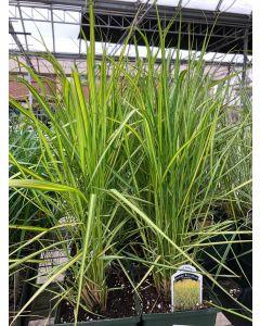 Calamagrostis Eldorado