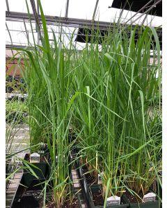 Calamagrostis Karl Forester 1G