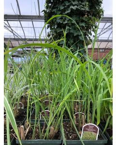 Miscanthus Tiger Tail 1G