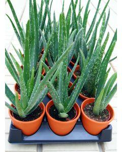 """Clay 4"""" Aloe"""