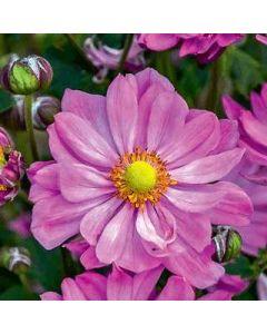 Anemone x 'CC Pink' 1G