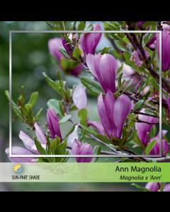 Little Girl Ann Magnolia