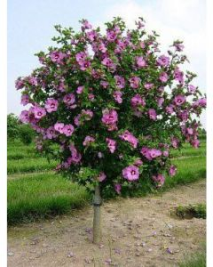 Aphrodite Rose of Sharon Std.