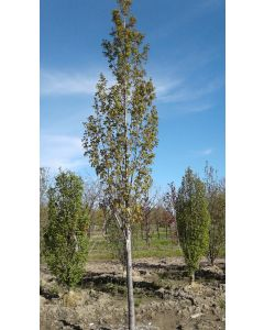 Armstrong Gold Red Maple