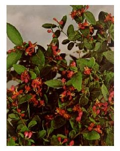 Arnold Red Honeysuckle