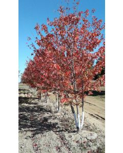 Autumn Blaze Maple Clump