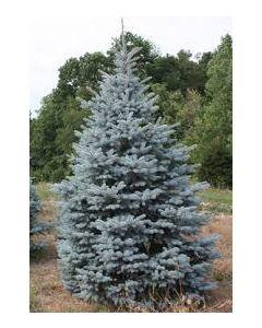 Baby Blue Spruce