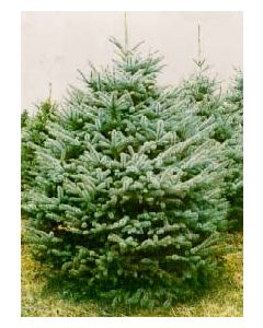 Bakers Blue Spruce
