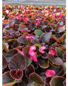 Begonia Boom Rose Flat 12x4