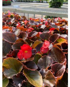 Begonia Boom Scarlet Flat 12x4