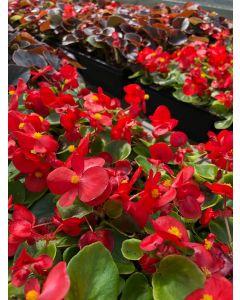 Begonia Bing Scarlet Flat 12x4
