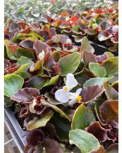 Begonia Boom White Flat 12x4