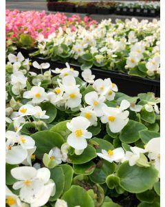 Begonia Bing White Flat 12x4