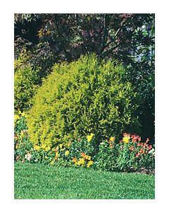 Berkmans Gold Cedar