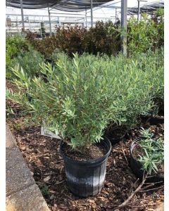 Dwarf Blue Arctic Willow