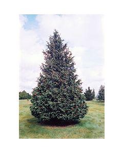 Blue Nootka Cypress