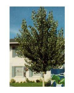Bolleana White Poplar