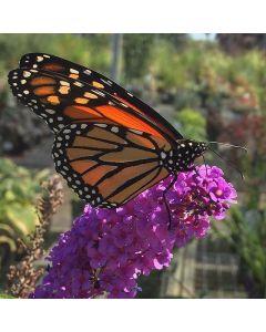Queen of Hearts Butterfly Bush