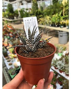 """3.25"""" Cactus"""