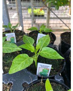 Organic Pepper Carolina Pepper