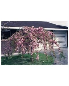 Cheals Weeping Cherry