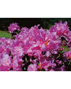 Checkmate Rhododendron