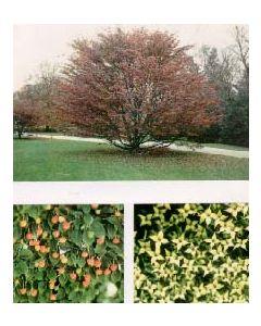 Chinese Flowering Dogwood