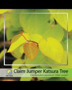 Claim Jumper Katsura Tree