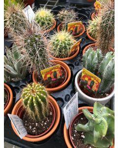 """Clay 3"""" Cactus"""