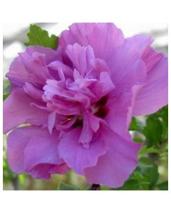 Collie Mullins Rose of Sharon