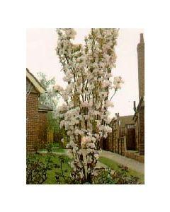 Colum Siberian Crabapple