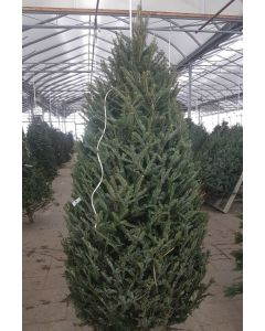 Cook Fir Christmas Tree