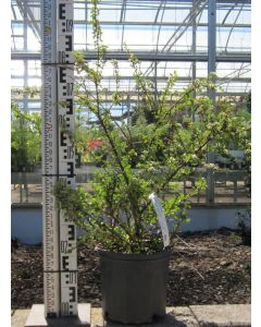 Coral Beauty Cotoneaster 40cm