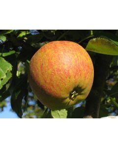 Cox Orange Apple Tree