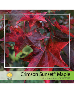 Crimson Sunset Maple