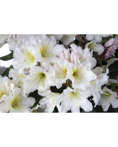 Cunningham White Rhododendron