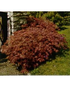 Cutleaf Purple Japanese Maple
