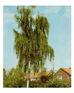 Cutleaf Weeping Birch