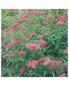 Darts Red Spirea
