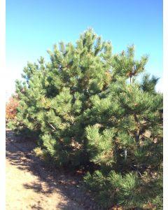 Dwarf Austrian Pine