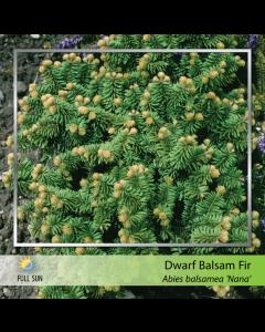 Dwarf Balsam Fir