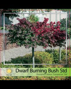 Dwarf Burning Bush Std